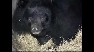 The Taiwan Black Bear
