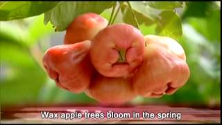 Flora EXPO-Wax apple