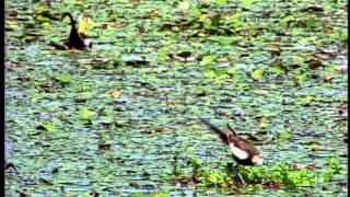 Fairy Lovely - The pheasant-tailed Jacana (for kids)