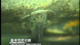 Treasures in Water - Endemic Species of Freshwater Fish in Taiwan